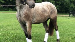 Roan Appaloosa in Knoxville, TN