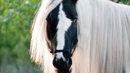 Other Gypsy Vanner in Jordan, MN