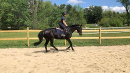 Black Dutch Warmblood in Woodstock, CT