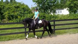 Black Friesian in Baldwinsville, NY