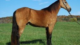 Buckskin Tennessee Walker in Dallas, TX