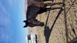 Black Quarter Horse in YERINGTON, NV