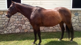 Bay Quarter Horse in Nokesville, VA