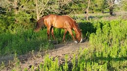 Chestnut Quarter Horse in Valley View, TX