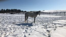 Grey Quarter Horse in Spalding, NE