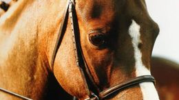 Chestnut Welsh Pony in Lancashire, AE