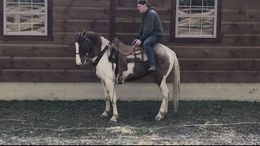 Roan Tennessee Walker in Kansas City, MO