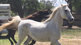 Silver Dapple Arabian in Brooksville, FL