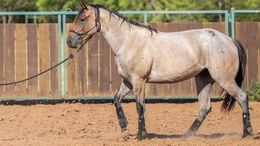 Roan Quarter Horse in Williston, FL