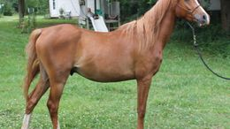 Chestnut Arabian in Neodesha, KS