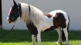 Other Gypsy Vanner in Middlebury, IN