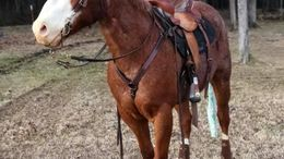 Roan Quarter Horse in Lenoir City, TN