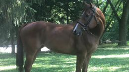 Chestnut Thoroughbred in Dayton, OH