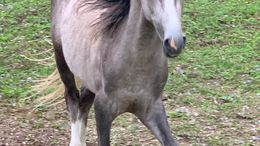 Grey Welsh Pony in Glengary, WV