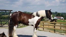 Other Gypsy Vanner in Des Moines, IA
