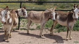 Other Donkey in Canyon, TX
