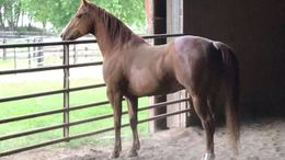 Chestnut Quarter Horse in Oswego, IL