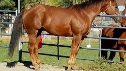 Sorrel Quarter Horse in Kennewick, WA
