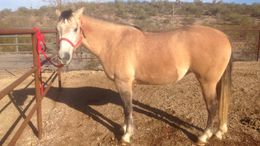 Dun Quarter Horse in Wickenburg, AZ
