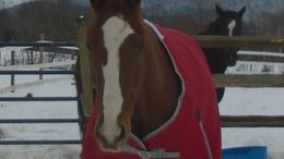 Chestnut Thoroughbred in Spencer, NY