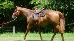 Sorrel Appendix Quarter Horse in Bethpage, TN