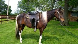 Pinto Tennessee Walker in Salisbury, MO