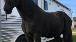 Black Tennessee Walker in CAMP DOUGLAS, WI