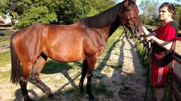 Bay Appendix Quarter Horse in Louisville, KY