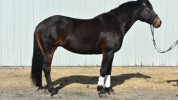 Bay Percheron in Hanover, NH