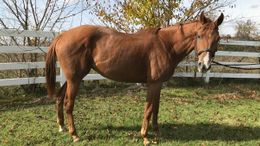 Chestnut Thoroughbred in Plymouth, MI