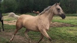 Palomino Quarter Horse in Duluth, MN