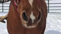 Chestnut Quarter Horse in Prole, IA