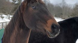 Bay Quarter Horse in clinton corners, NY