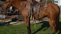 Dun Quarter Horse in King city, MO