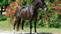 Black Warmbloods (All) in Fort Myers, FL