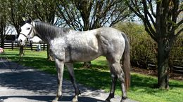 Grey Thoroughbred in Midway, KY
