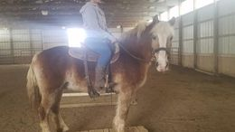 Chestnut Haflinger in Cambridge, OH