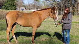 Sorrel Quarter Horse in Ohatchee, AL
