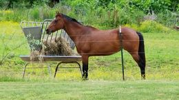 Bay Quarter Horse in bethpage, TN