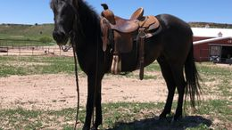 Black Quarter Horse in Canyon, TX