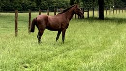Bay Standardbred in Hattiesburg, MS