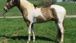 Buckskin Tennessee Walker in Greenfield, MO