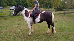 Pinto Tennessee Walker in winchester, VA