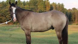 Grulla Quarter Horse in Courtland, AL