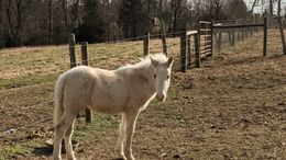 Pinto Ponies (All) in Shoals, WV