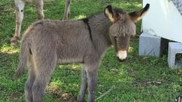 Grey Donkey in Hartselle, AL