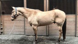 Buckskin Quarter Horse in New York City, NY