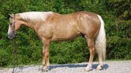 Palomino Quarter Horse in Seattle, WA
