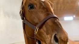 Chestnut Thoroughbred in Columbus, NC