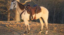 Buckskin Tennessee Walker in Fort Lauderdale, FL